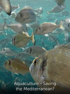 Aquaculture - Saving the Mediterranean?