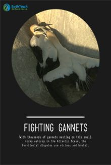 Fighting Gannets