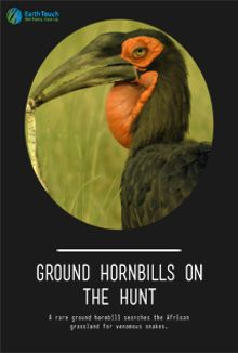 Ground Hornbills on the Hunt