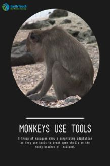 Monkeys Use Tools