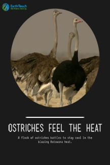 Ostriches Feel the Heat