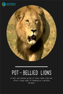 Pot-Bellied Lions