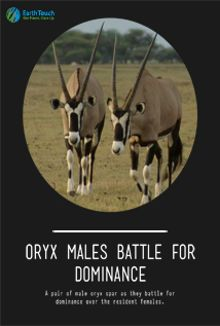 Oryx Males Battle for Dominance